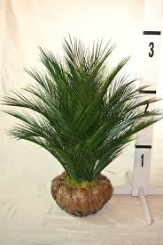 plant for home decoration garden u0026 outdoor wonderful robellini palm tree with other plant