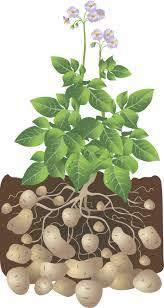 potatoes for the backyard gardener the cape coop