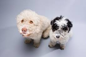 Are All Dogs Colour Blind Portuguese Water Dog Breed Information Pictures Characteristics