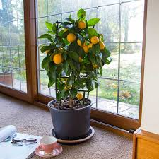 indoor lemon trees send compact indoor citrus trees