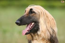 afghan hound snood the elegant afghan hound pets4homes