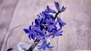 Hyacinth Flower Blue Hyacinth Flower In A Vase 4k Hd Desktop Wallpaper For 4k