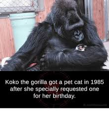 Gorilla Meme - koko the gorilla got a pet cat in 1985 after she specially requested