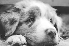 australian shepherd white free images black and white puppy fur closeup close up nose