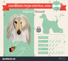 afghan hound breed afghan hound dog breed vector infographics stock vector 481808452