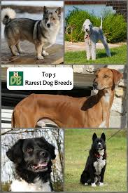 top 5 rarest dog breeds dog boo