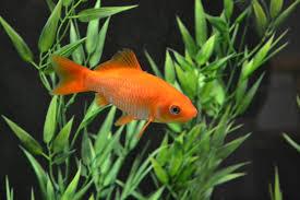 Vasche Da Giardino Per Pesci vasche per pesci rossi da giardino pesci rossi alluaperto in
