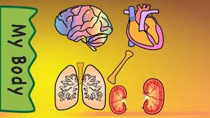 body organs youtube