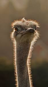 ostrich galaxy note 3 wallpaper animal