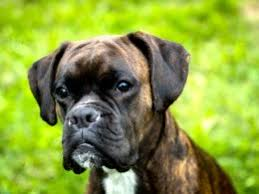 boxer dog noises boxer dog breed information buying advice photos and facts