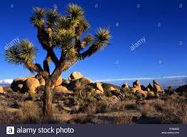 native nevada plants joshua tree national park yucca brevifolia is a monocotyledonous