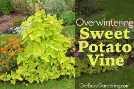 how to overwinter sweet potato vine cuttings indoors