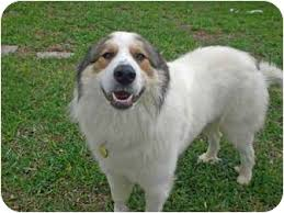 australian shepherd vocal great pyrenees australian shepherd mix dog dogs pinterest