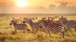 are zebras black with white stripes or white with black stripes