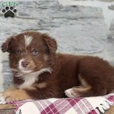 australian shepherd english bulldog mix border collie mix puppies for sale greenfield puppies