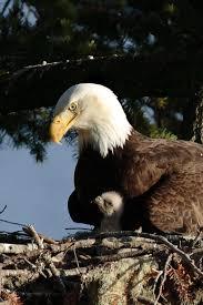 449 best eagles images on pinterest bald eagles birds of prey