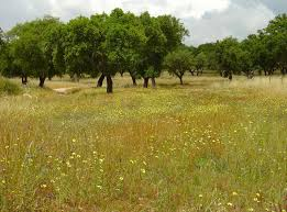 free grass meadow with wild flowers and old oak trees stock photo
