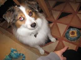 australian shepherd eye color genetics mini australian shepherd with red eyes