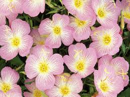 Pink Primrose Flower - quiz 181 hint county flower of devon happy birthday gary