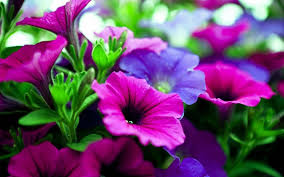 Names Of Purple by Pink And Purple Flowers Background Hd Cool 7 Hd Wallpapers Le