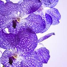 vanda orchid vanda orchid fragrance natures garden scents
