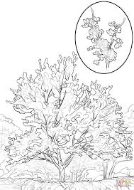 eastern redbud coloring page free printable coloring pages