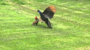battle of the birds peacock vs rooster youtube