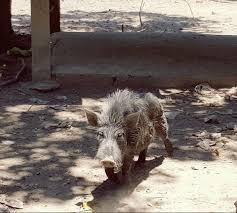 wild native hybrid organic pigs philippines home facebook