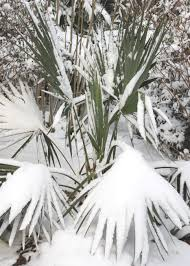 trees are also native plants 13 cold hardy palm trees hgtv
