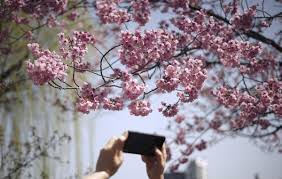 spring blossoms the boston globe