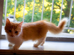 munchkin cat history characteristics and temperament
