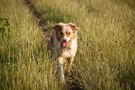 australian shepherd kid friendly australian shepherd love that pet