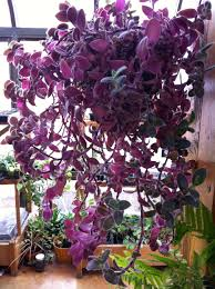 take care of a wandering jew plant plants gardens and landscaping