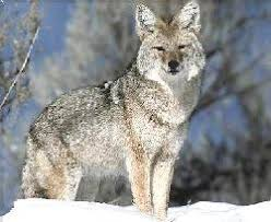 Can Coyotes See Red Light Wildlifehotline Org