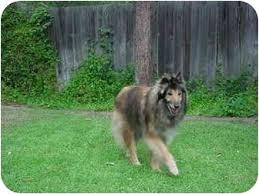 belgian sheepdog rescue california misty adopted dog 1343 gardena ca collie belgian tervuren mix