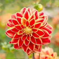 dahlias flowers dahlia caballero