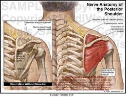 Innervation Of Supraspinatus Nerve Anatomy Of The Posterior Shoulder Medical Exhibit