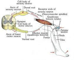 Knee Reflex Arc Index Of Teacher Songchai My Nerve Site