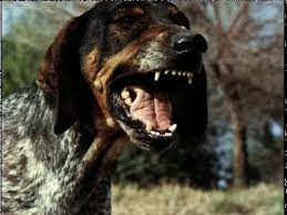 bluetick coonhound in florida bluetick coonhound the house of two bows 雙寶之屋