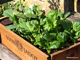 Growing Your Own Vegetable Garden by Cut And Grow Again Chinese Baby Leaf Salad Grow Your Own Veg