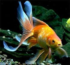 fantail goldfish fancy goldfish show goldfish information and care
