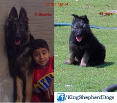 belgian shepherd for sale philippines king shepherd dogs home facebook