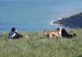 australian shepherd forum ascuk rescue and rehoming forum for ascuk rescue and rehoming