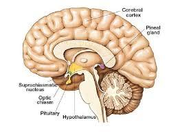 Anatomy Of Human Body Pdf Endocrine Anatomy29042010 Pdf