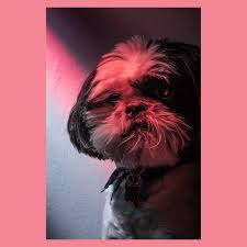 affenpinscher skin problems please visit and follow https www instagram com john roberts
