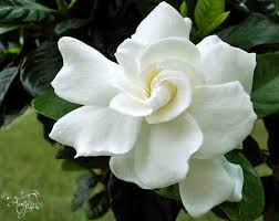 Gardenia Flower Flower Meaning