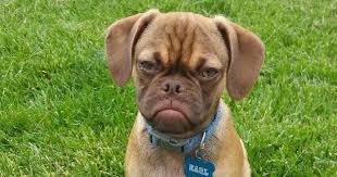 Annoyed Dog Meme - grumpy dog hates you even more than grumpy cat bored panda