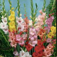 Gladiolus Flowers Gladiolus Flower Facts And Meaning August Birth Flower