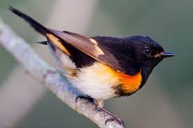 american redstart the gilligallou bird store eastern ontario u0027s