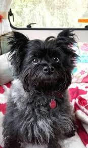 affenpinscher in texas affenpinscher puppy wearing a big yellow dog tag sitting with a